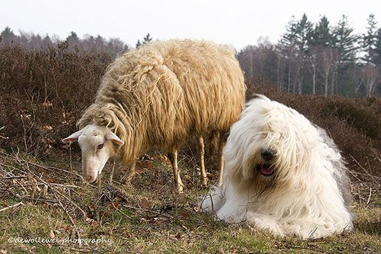 An Old English Sheepdog and her pal.
