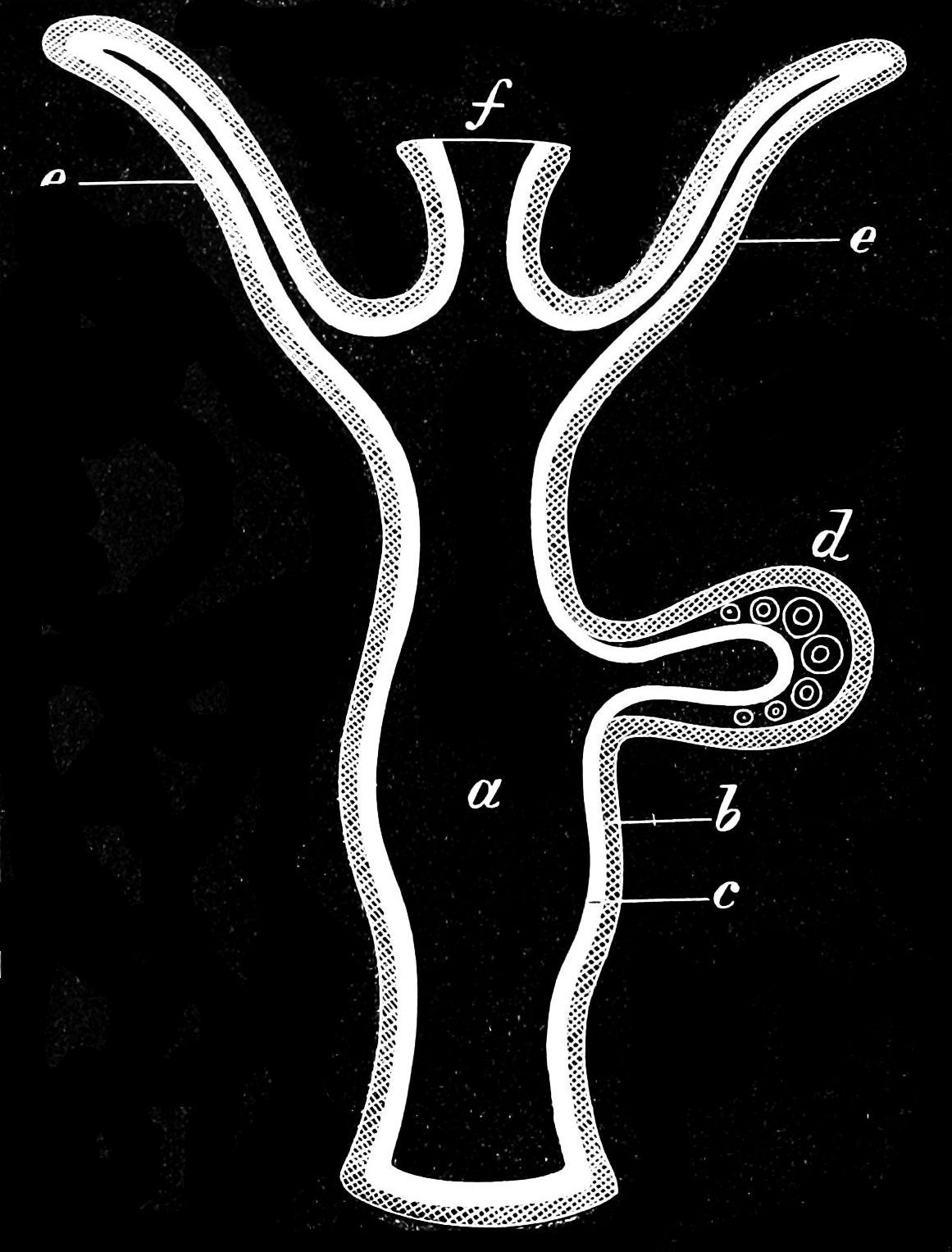 Diagram Of A Section Hydroid Inspiration Design For Bio Hydra