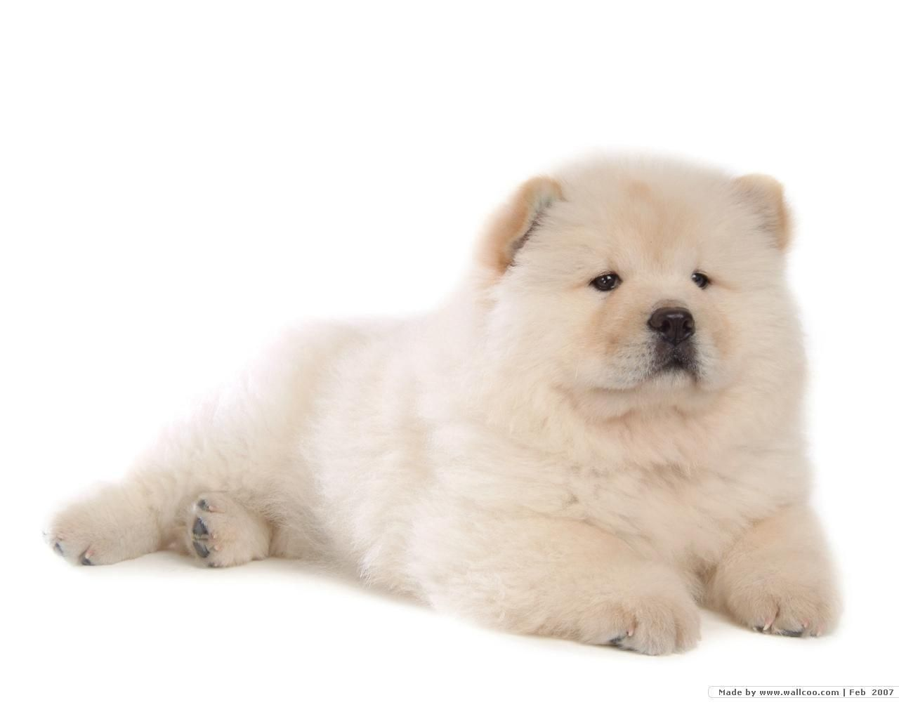 79 Cute Chow Chow Wallpaper Iphone In 2020 Puppy Wallpaper