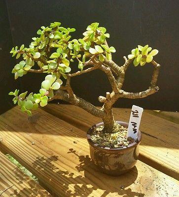 RP: Jade Tree - Portulacaria Afra