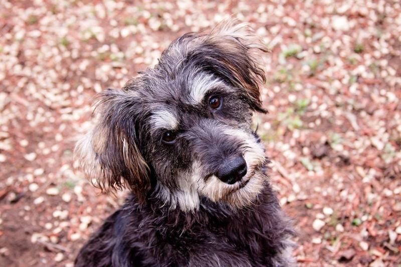 Adopt Scout on Tibetan terrier, Terrier mix, Cats, kittens