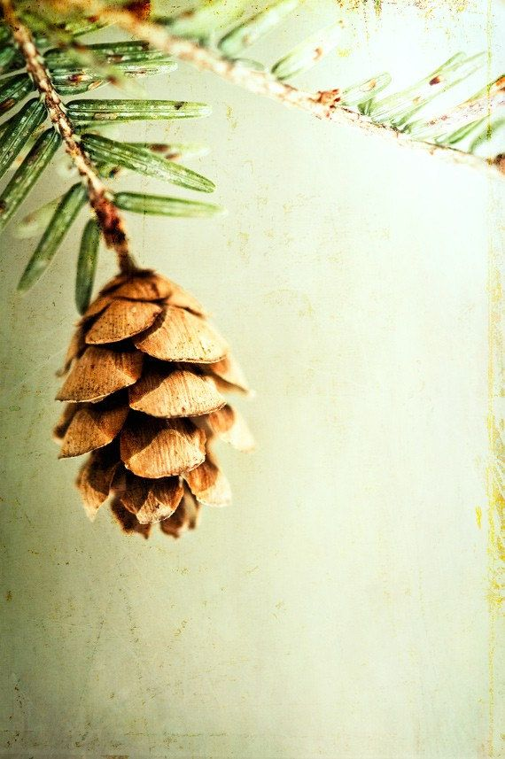 Nature Photography -  light green brown pinecone pine cone -