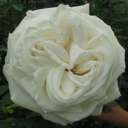 jeanne moreau is a white garden rose