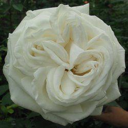 jeanne moreau is a white garden rose