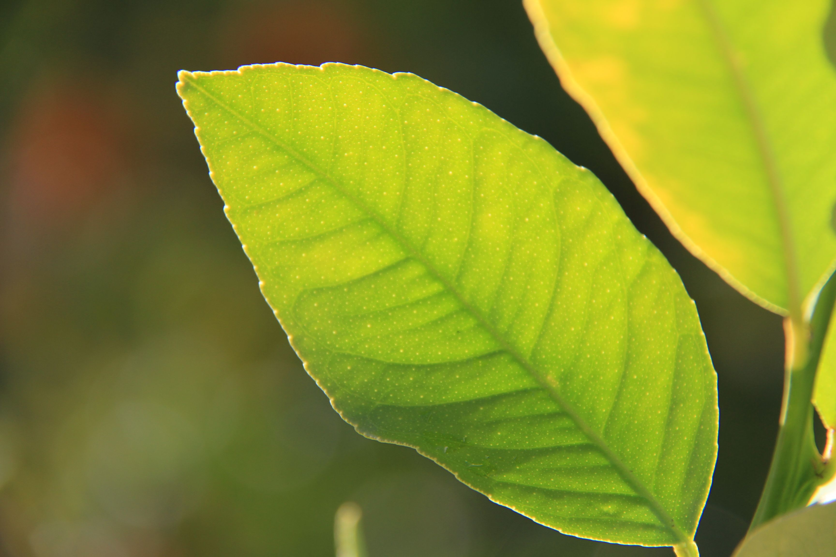 Green leaves of lemon tree in my backyard