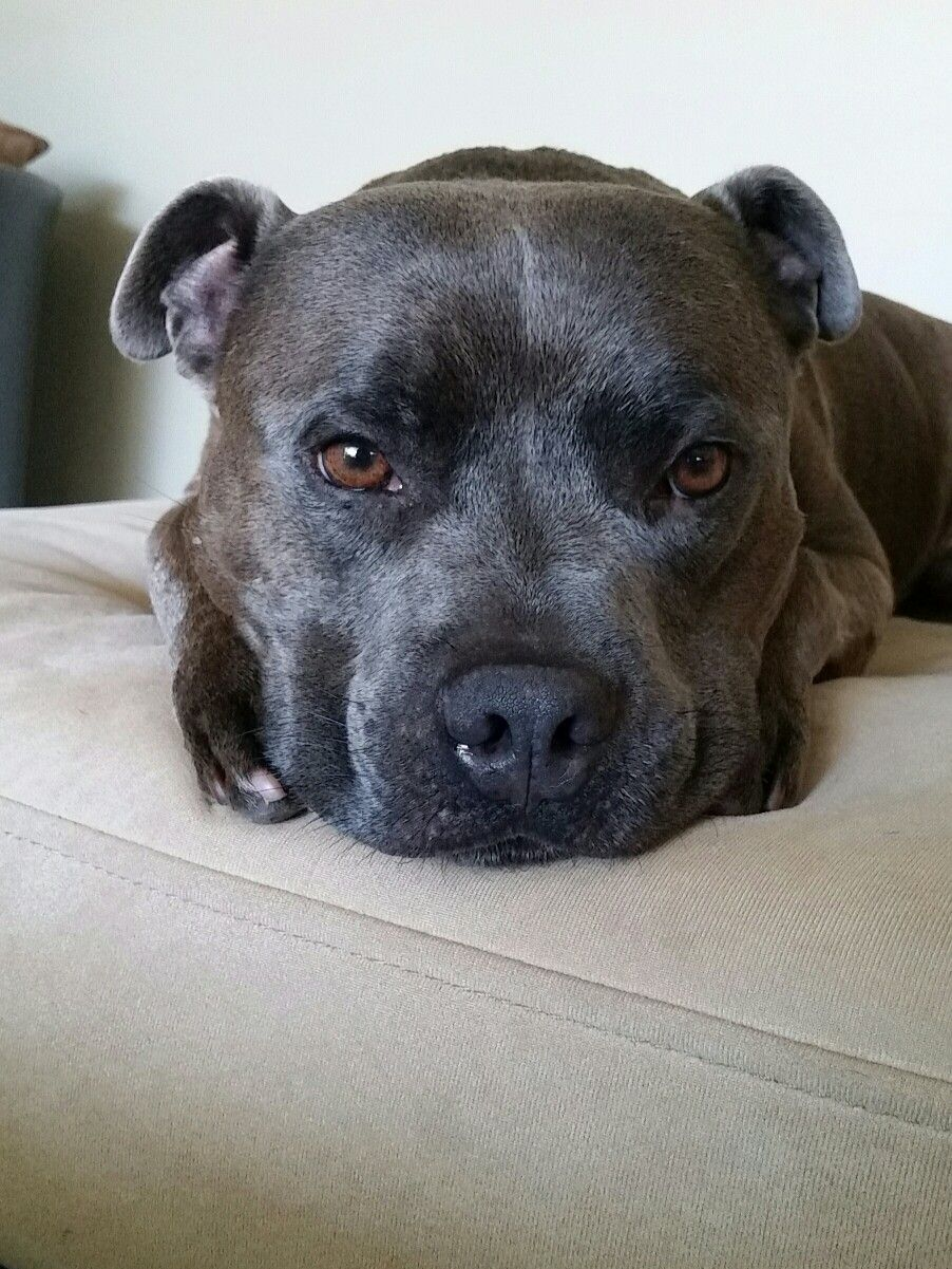 Blue English Staffordshire Bull Terrier Male 4 Years Old