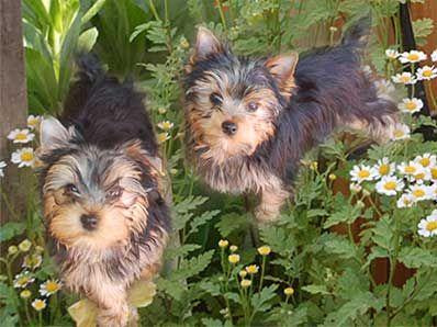 Yorkie Puppies San Diego Yorkie Puppy Yorkshire Terrier Yorkie