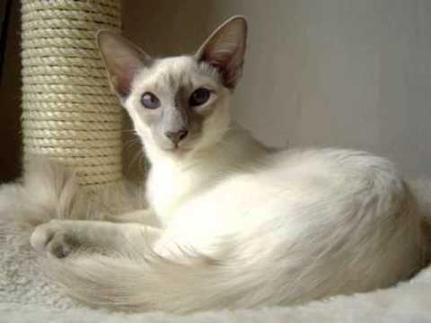 Javanese Cat Price In 2020 Balinese Cat Cat Breeds Cats