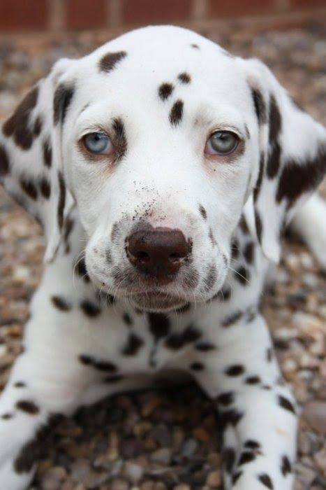 Characteristics Of Dalmatian Dog To See More Click On Picture