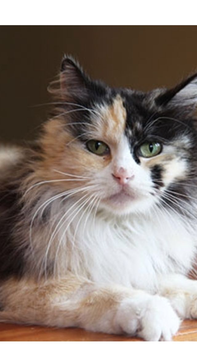 Mitzi has been ADOPTED! She is a 5yearold Maine Coon mix