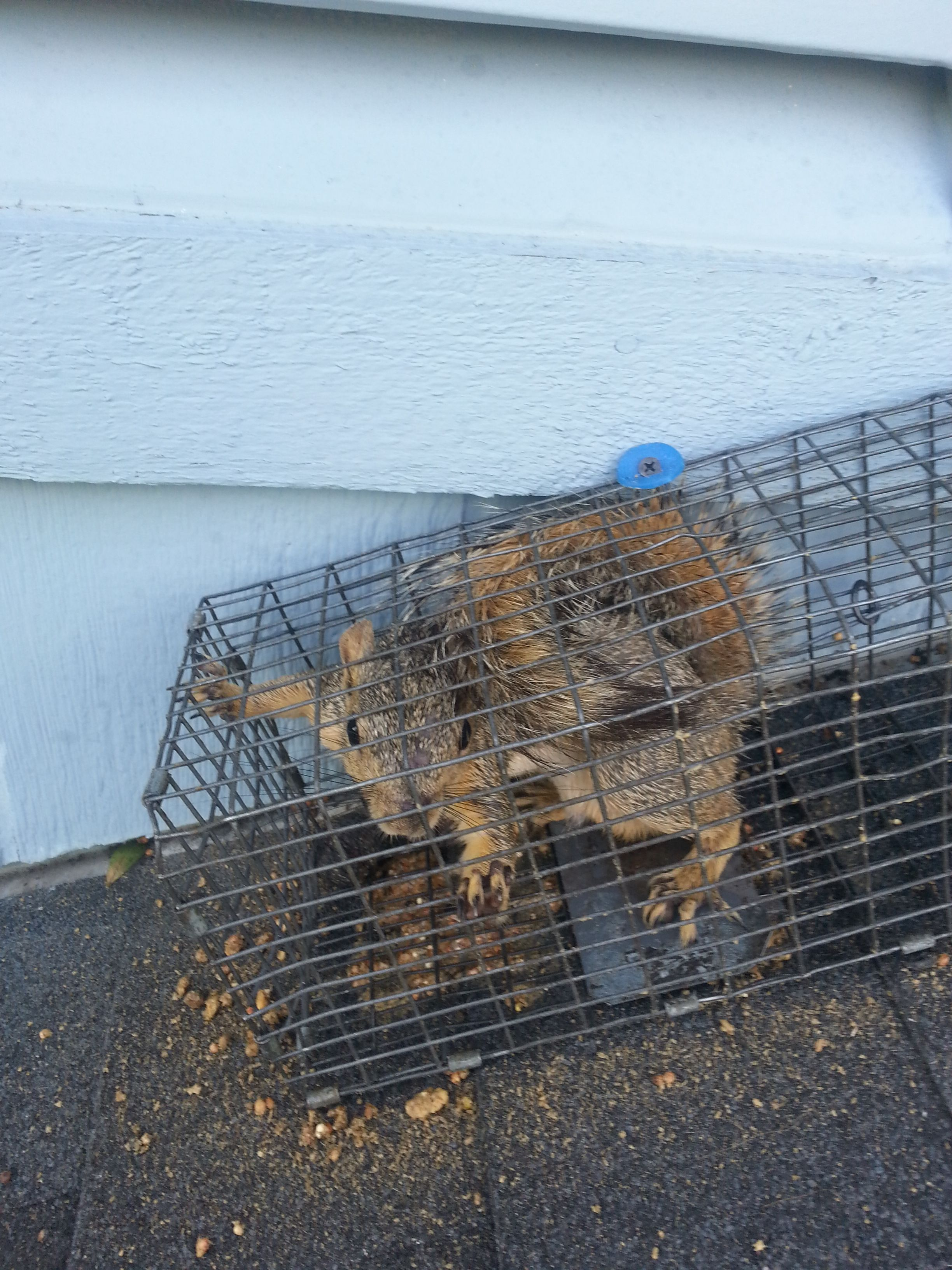 Squirrel We Caught On A Roof Before He Got Into The Attic Http Www Abolishpestwildlifecontrol Com Squirrel Rodent Removal San Antonio Tx