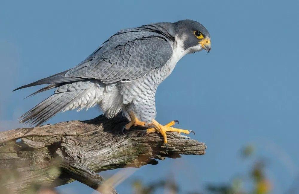 صقر الشاهين الجوال طيور جارحة British Birds Of Prey Birds Of Prey Prey Animals