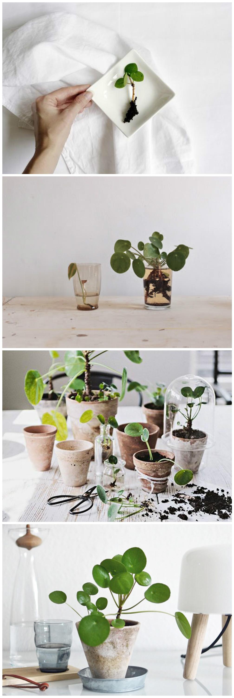 pilea peperomioides la star des plantes grasses blog d co clemaroundthecorner tuto diy. Black Bedroom Furniture Sets. Home Design Ideas