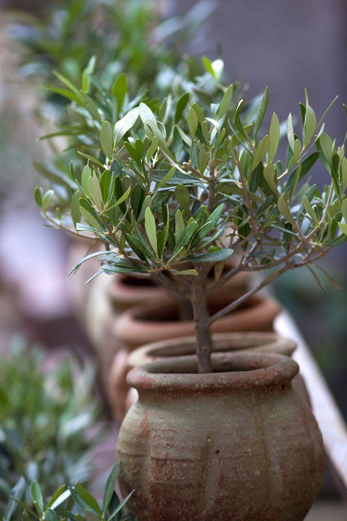 Olivier : planter et tailler – Ooreka | jardin | Jardins, Olivier et ...