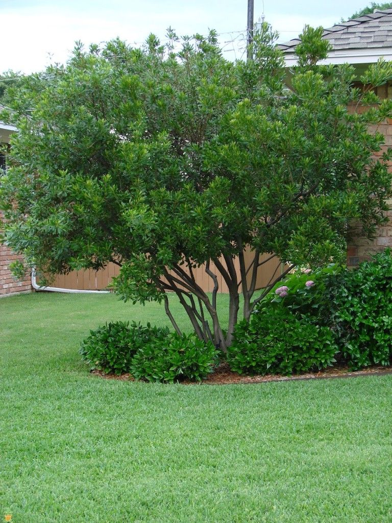 Evergreen Wax Myrtle Tree Pruned Can Grow As Bush Backyard Trees Privacy Landscaping Landscaping Trees