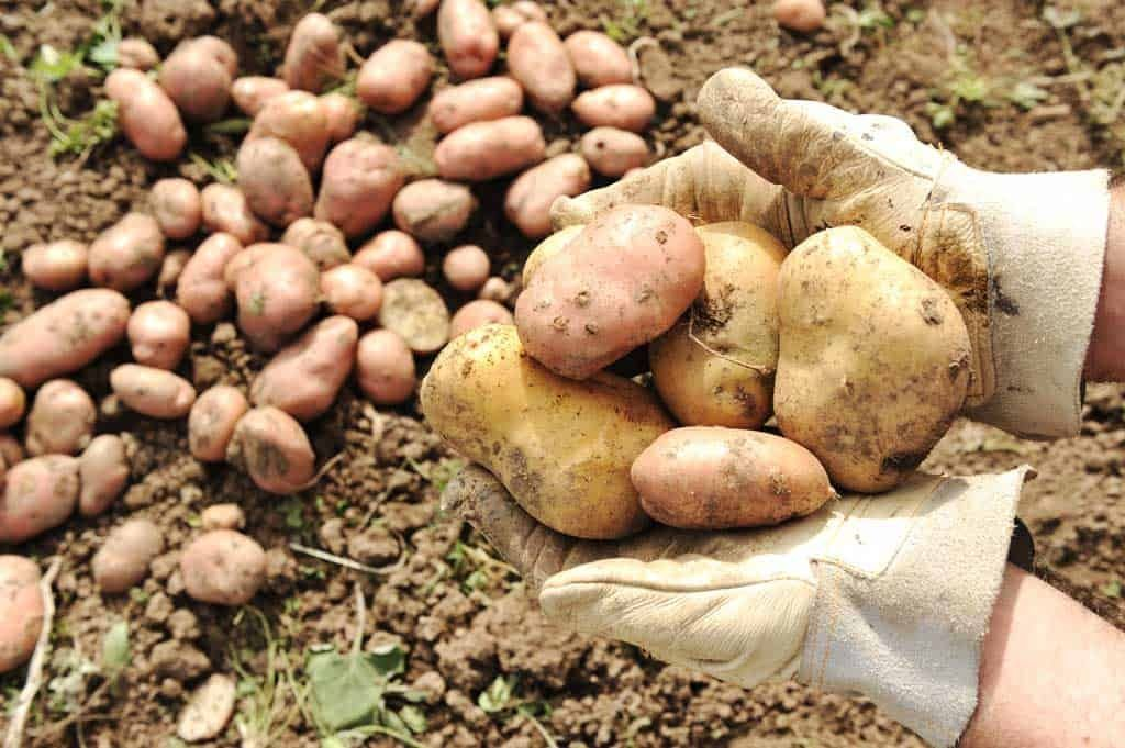 Peruvian Potatoes – From The Andes to Mars [With Recipes]