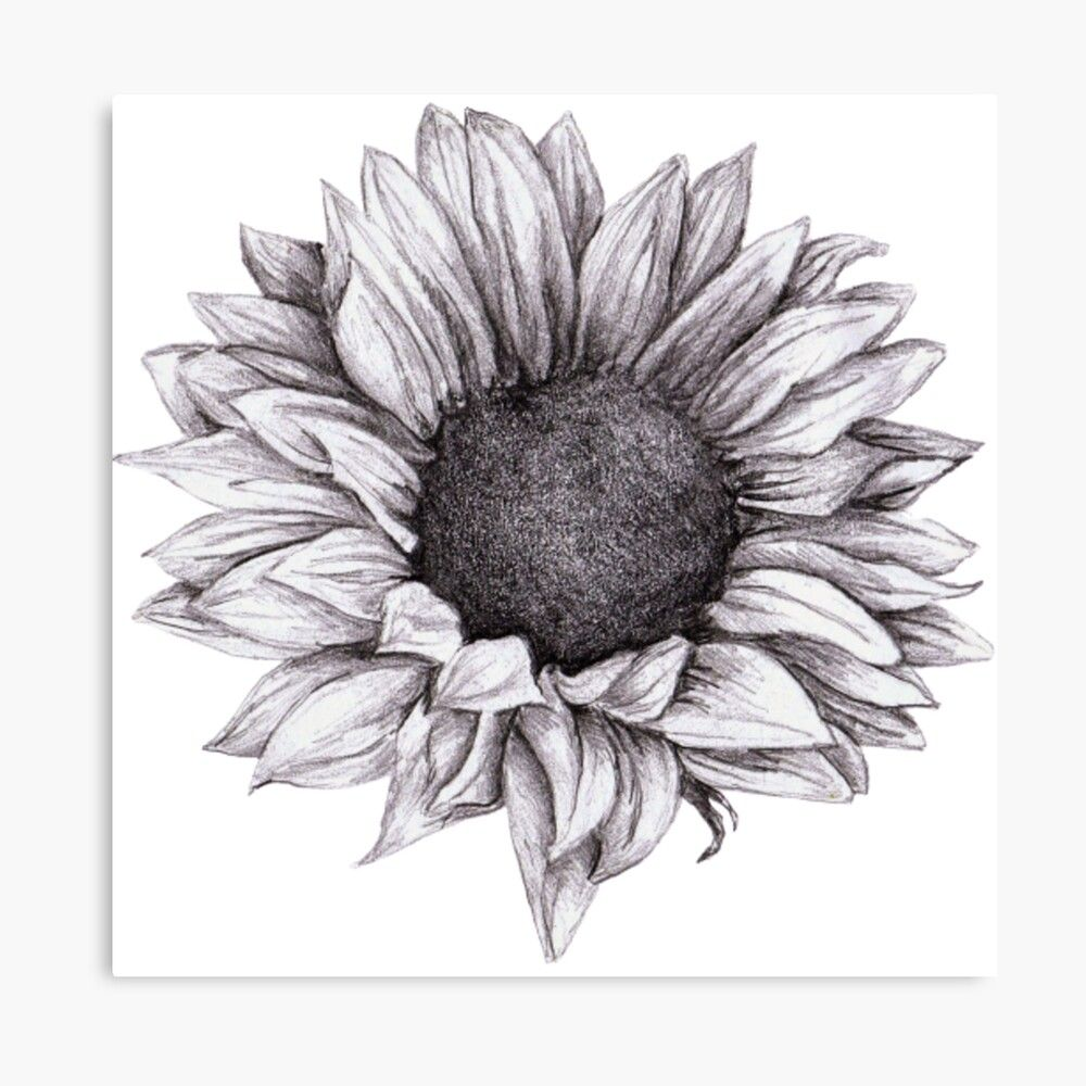 'Sunflower sketch hand drawing pencil' Canvas Prin