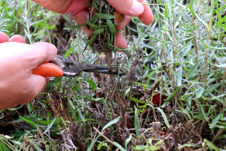 Lavendel schneiden - so geht's. Tipps vom professionellen Gärtner   - gartenideen - #Gartenideen #Gärtner #geht39s #Lavendel #professionellen #schneiden #Tipps #vom #kleinekräutergärten