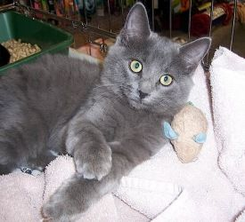 Greyson Nc Is An Adoptable Domestic Long Hair Gray Cat In