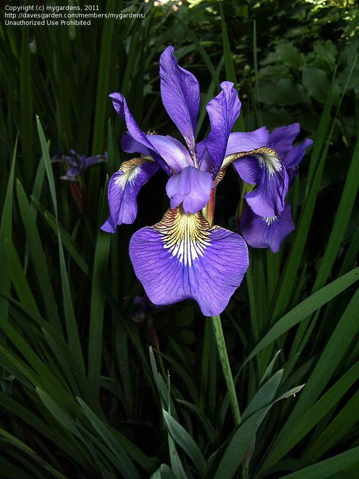 Plantfiles Pictures Japanese Iris Siberian Iris Iris Sanguinea 2 By Mygardens Beautiful Flowers Pretty Flowers Japanese Iris