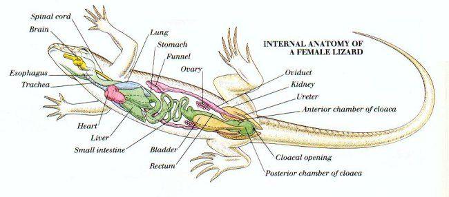 Internal anatomy of a female lizard education pinterest internal anatomy of a female lizard ccuart Gallery