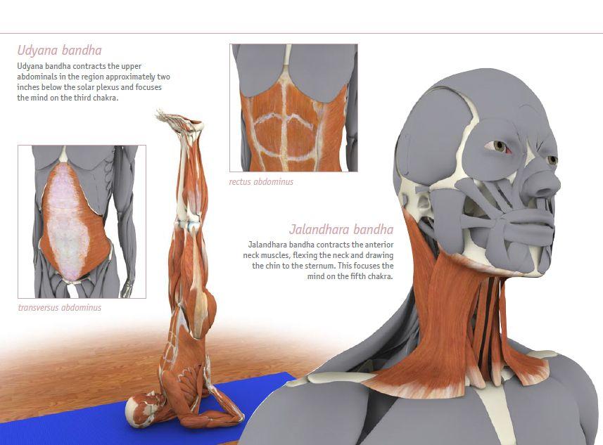 Udyana Bandha / Jalandhara Bandha - bandhayoga.com | Yoga Anatomy ...