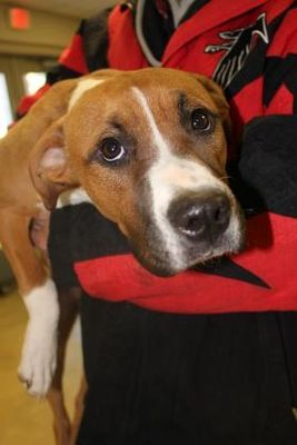Pictures of Izzy a Boxer for adoption in Cleveland, AL who