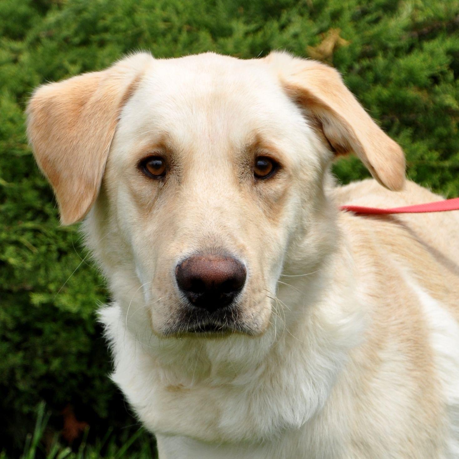 White Golden Retriever Lab Mix Google Search Golden Retriever Lab Retriever Puppy Golden Retriever White