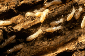 Signs Of Termites In The House Signs Of Termites Termites Drywood Termites