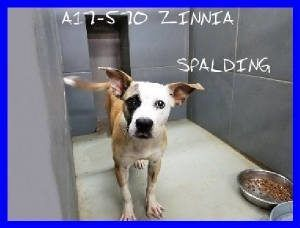 10 8 17 Spalding County Animal Shelter Last Chance Pets Id A17 570 Zinnia Dogs Animal Shelter