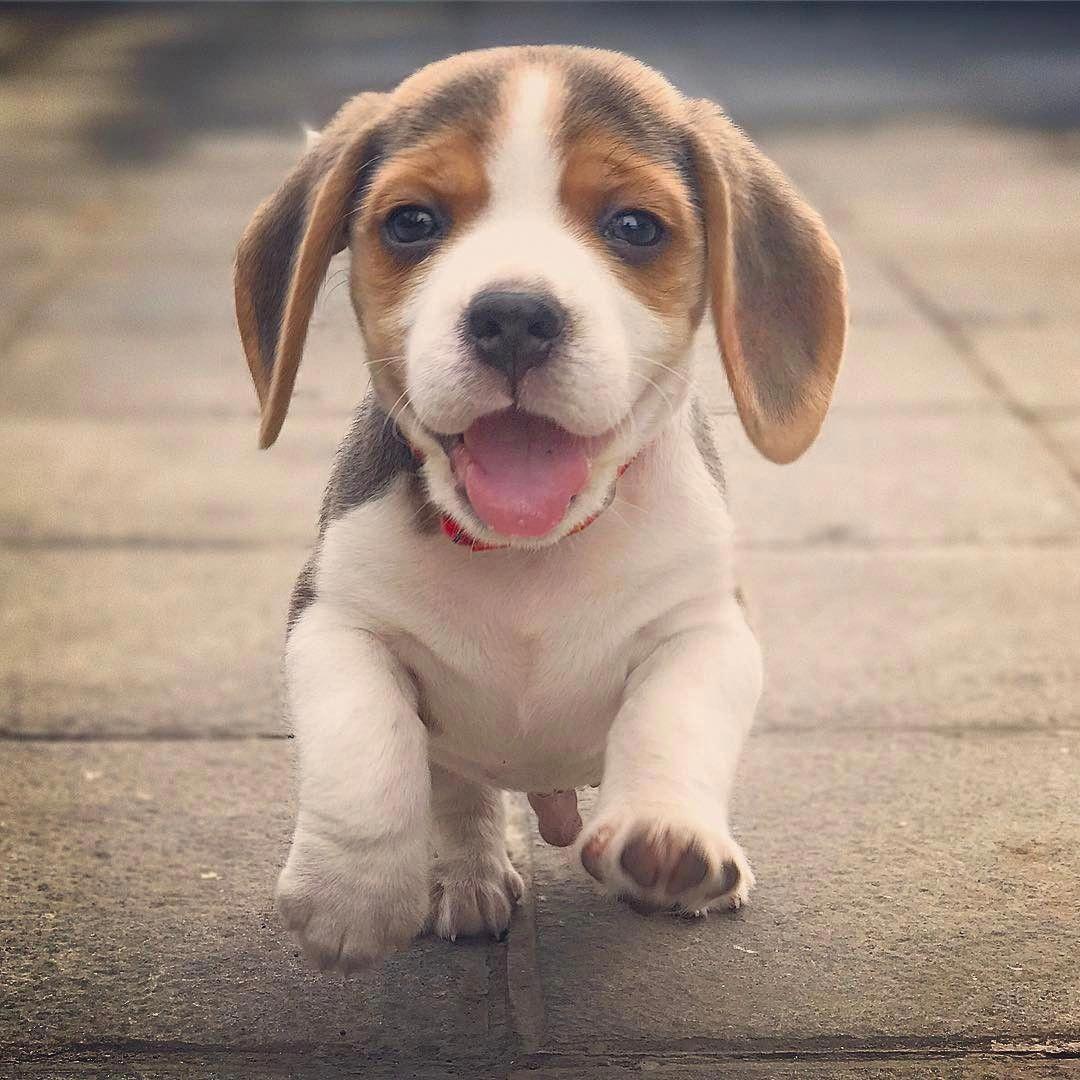 Beagle Friendly And Curious Puppies Beagle Puppy Cute Beagles