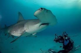 tubarão martelo - Pesquisa Google