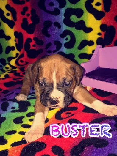 Boxer Puppy For Sale In Connecticut Ct 203 414 1615 Boxer Puppies For Sale Boxer Puppies Boxer Breeders