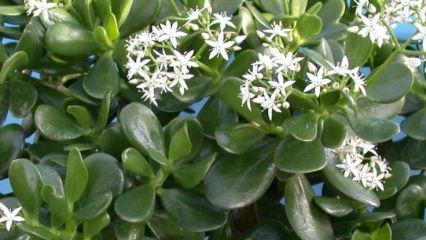 Une Plante Grasse Pour Attirer La Richesse Crassula Plantes