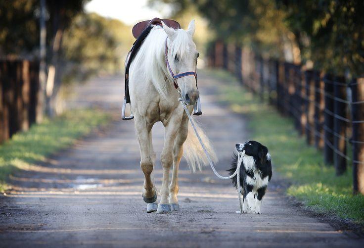 Border collie Hekan takes stunt horse Kiko for some exercise.
