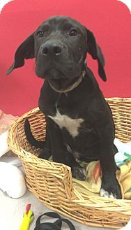 Decatur Al Great Dane Labrador Retriever Mix Meet Igor A Dog