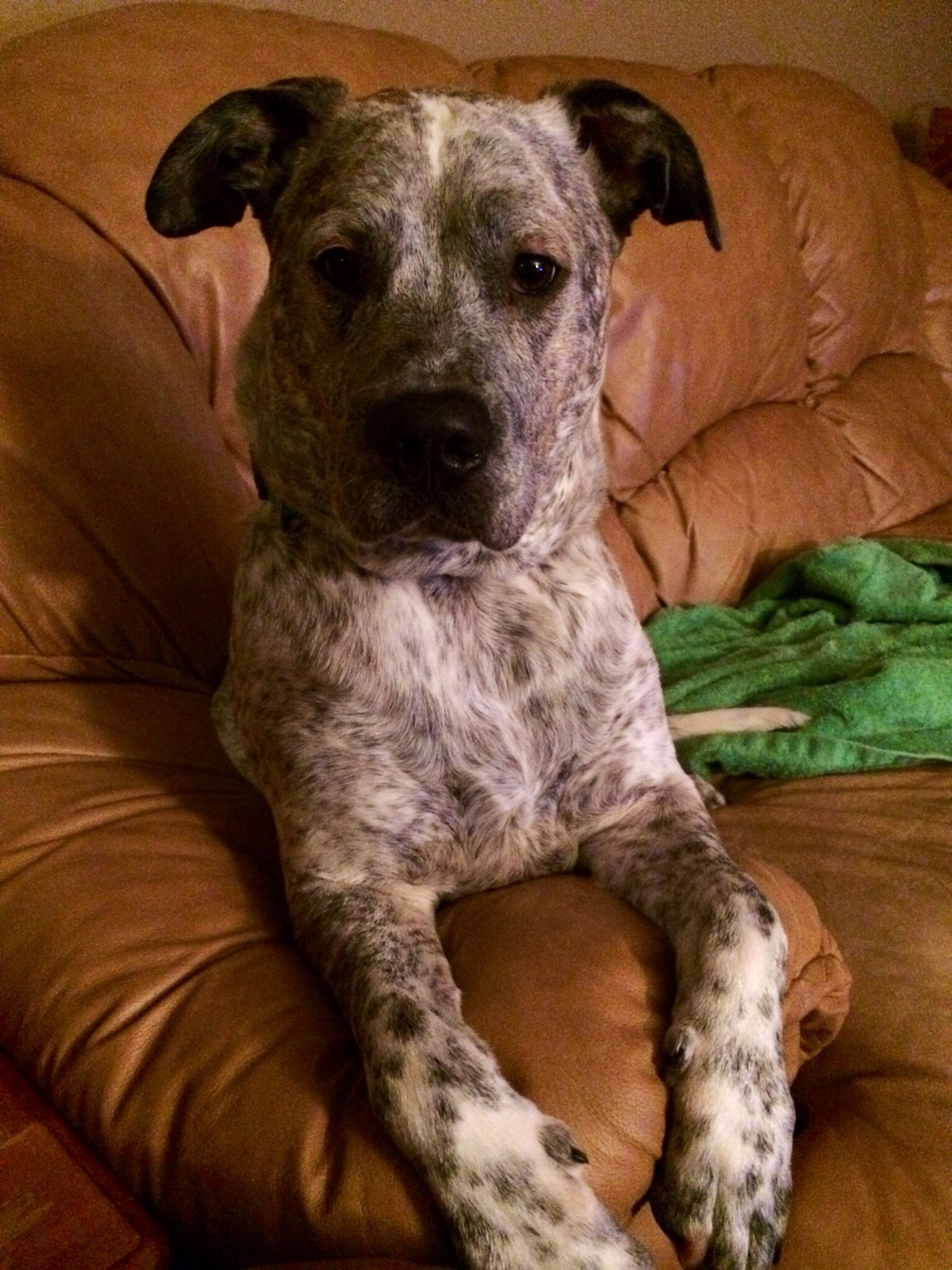 Gray Pup Dalmatian Blue Heeler Mix Cute