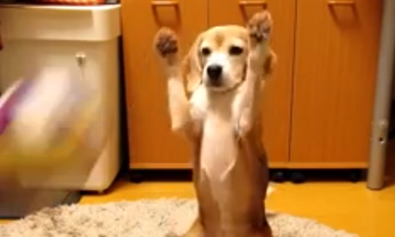 Amazing Video Beagle Adorable Dog - 00f94831143811c72045aa0e3373f055  Pictures_924753  .png