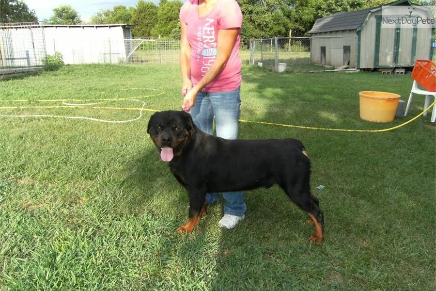 meet male a cute rottweiler puppy for sale for 700 aca champion