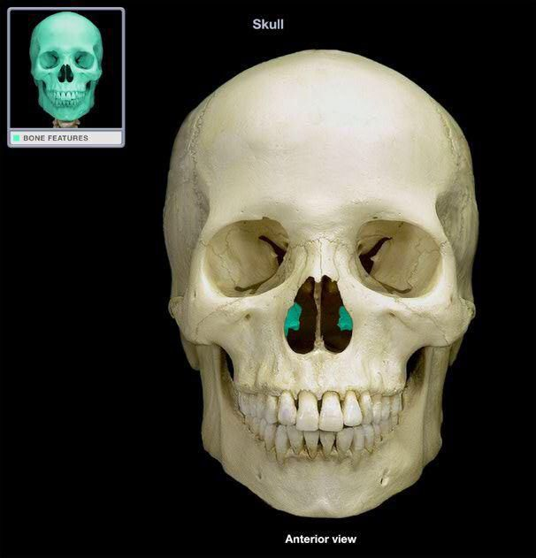 ethmoid bone : most deep of the skull . lies between sphenoid and, Cephalic Vein