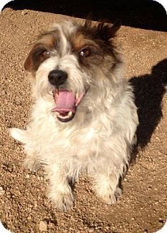 Seattle Wa Jack Russell Terrier Cairn Terrier Mix Meet Scruffy
