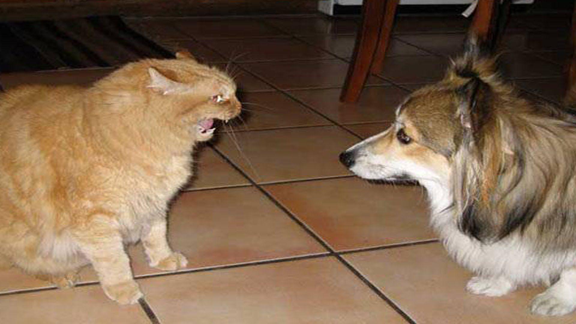 Dog And Cat Fighting Over Food Dog Cat Animal Photo Corgi