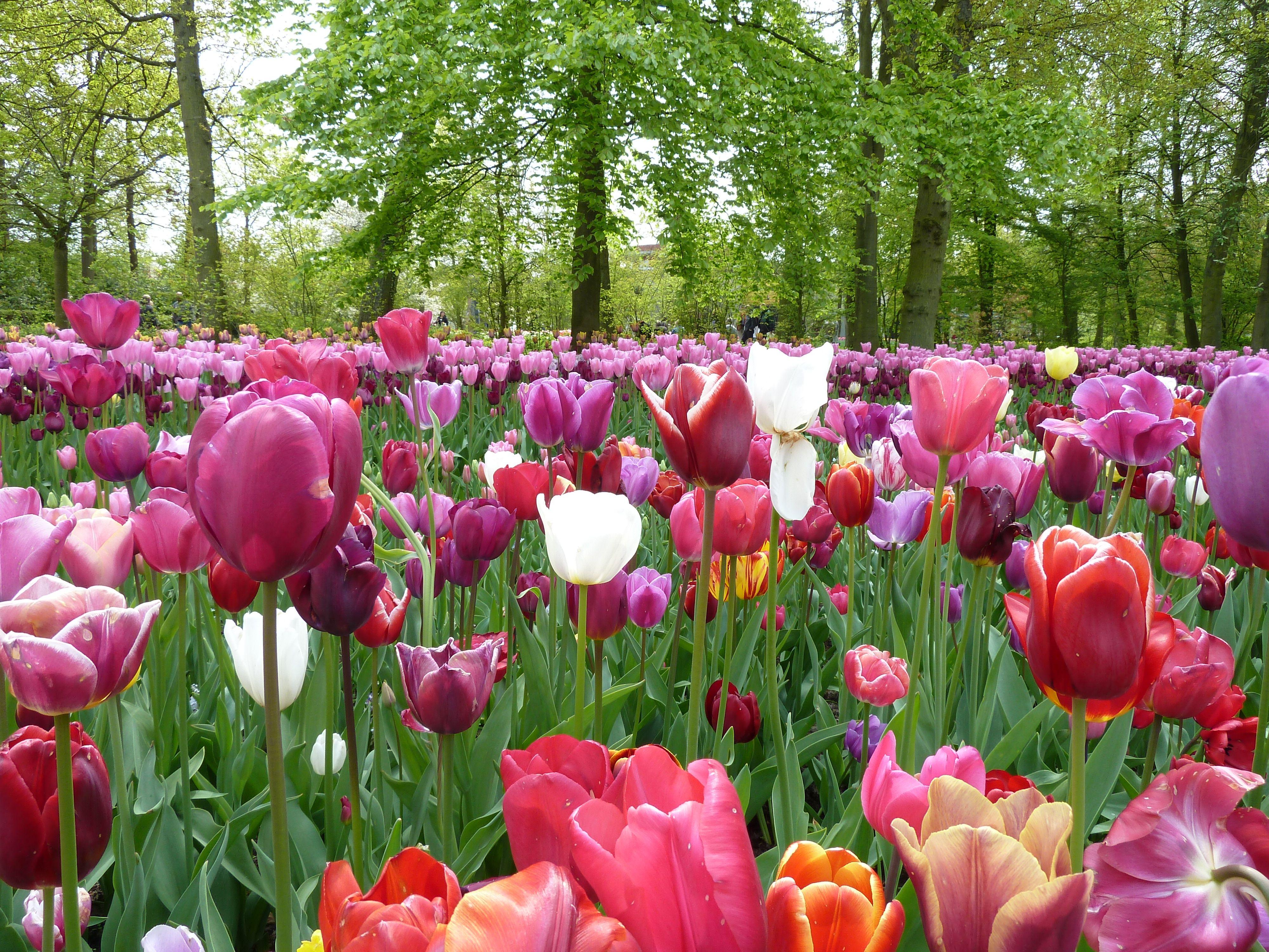Pemandangan Taman Bunga Sakura Yang Indah Image By Pelautscom Flower Tulip Pinterest
