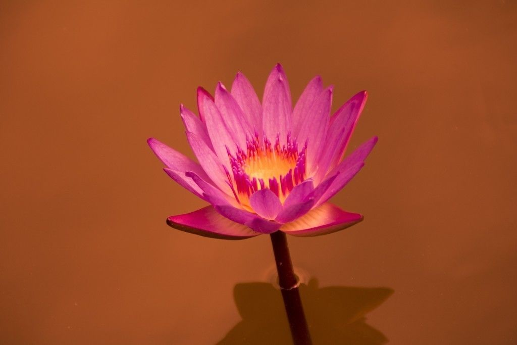 Water Lily Pink Flower Close Up Wallpaper Pink Flowers