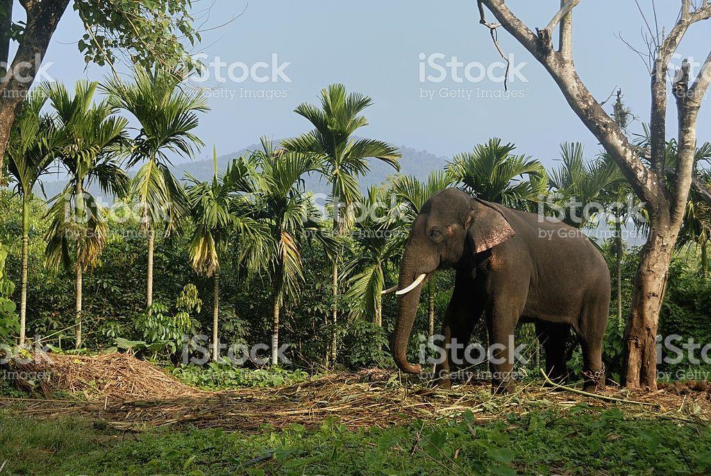 Indian elephant (With images) Indian elephant