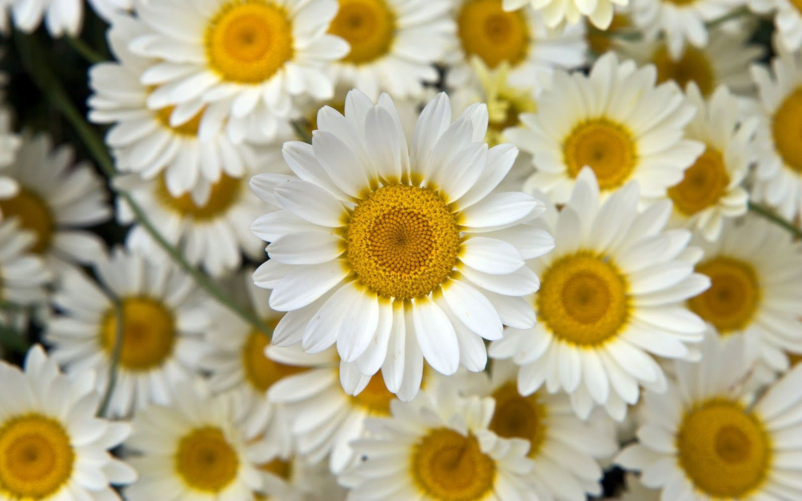 100 types of the most beautiful white flowers for your garden types of white flowers white is taken into consideration as a binding and mirroring shade as it reflects all the lights as well as goes well with any type mightylinksfo