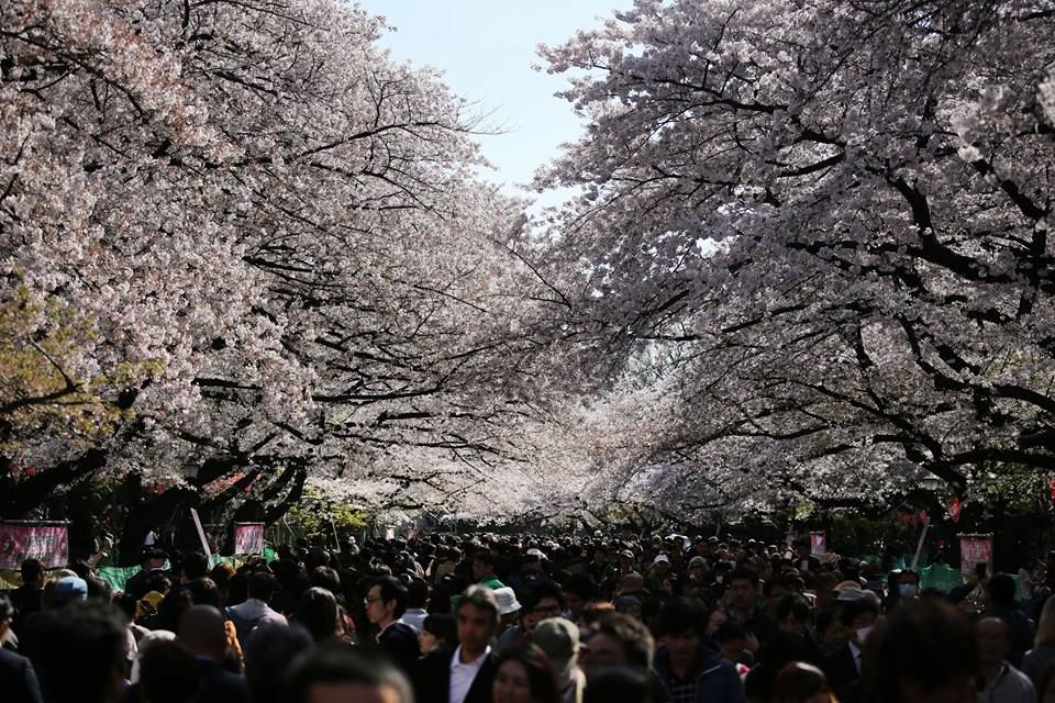 Japan Today Timeline Photos Cherry Blossom Tree Blossom Trees Photo