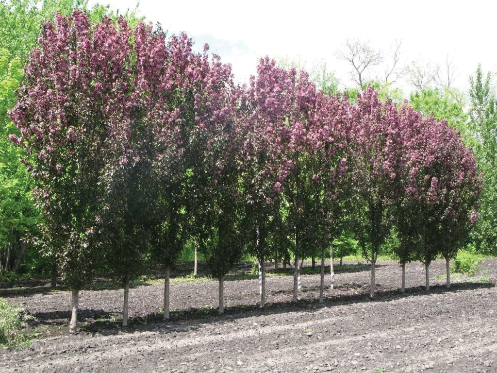 Malus x adstringens durleo j c bakker nurseries for Crabapple tree