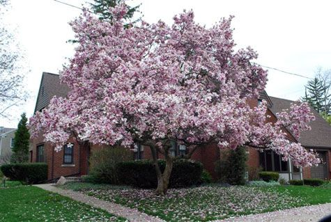 Last Spring We Planted A Baby Jane Magnolia Tree In The Front Yard