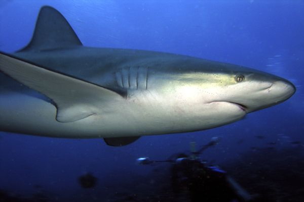 Galapagos sharks are the kittens of the sea